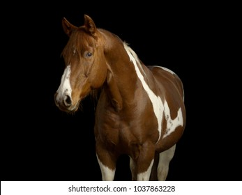 Brown and white pinto quarter horse in a photo studio on black background
