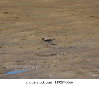 Brown and white Sandpipers are a large family, Scolopacidae, of waders or shorebirds in the shallow Leschenault Estuary near Bunbury, Western Australia,in summer.