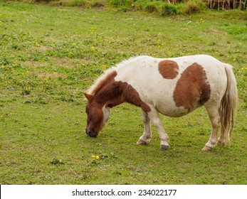 Brown and white shetland pony grazing in a meadow