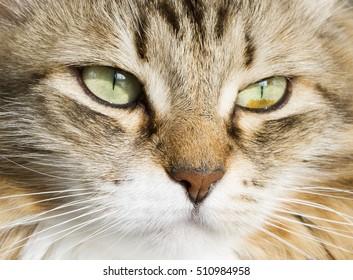 brown white siberian cat face