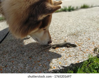Brown and white siberian husky with ocellated lizard. Close-up of dog's head