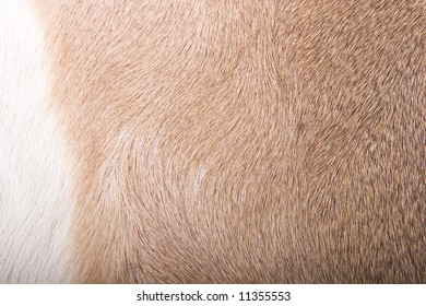 Brown and White skin from a white-tailed deer