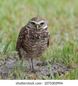 Brown and white spotted burrowing owl with yellow eyes and beak is standing 1n green grass and dirt edge of its burrow.