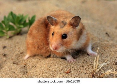 A brown and white Syrian hamster on the sand