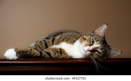 Brown and white tabby cat rests on table top with plain beige background.
