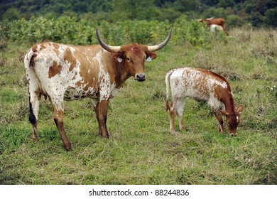 A brown and white Texas longhorn cow with her calf grazing in a green field.