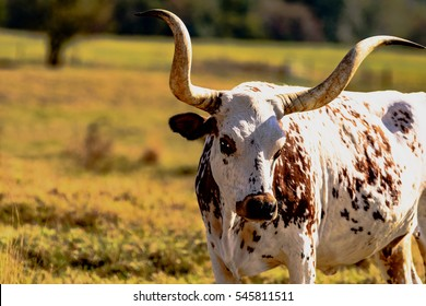 Brown and white Texas Longhorn in a dormant pasture