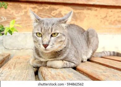 Brown and white Thailand cat sitting on a wooden deck in garden