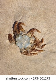 Brown and white transparent jellyfish dead aurelia medusa on the sand on the beach shore or seaside in the morning. Ecological nature environmental disaster. Close-up downside view, place for text