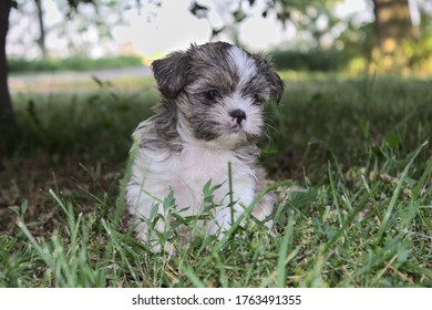 Brown and White Yorkshire/Shih Tzu Mix Puppy Sitting in the Grass