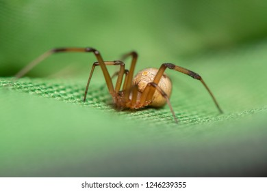 Brown widow spider make sac for its eggs with green background