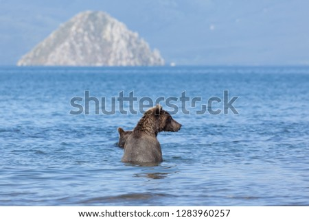 A brown wild  bears fishing in Kuril lake. Back view of bear.  kronotsky nature reserve. Kamchatka. Russia.