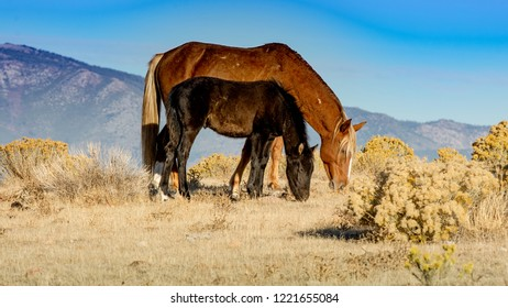 A brown wild mustang mare and its black colt a desert in Nevada, USA, grazing, side view