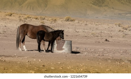 Brown wild mustang mare and her black colt in a desert in Nevada, USA, drinking water in a metallic water container