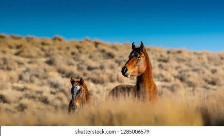 Brown wild mustang mare and her colt in a desert in Nevada, USA, behind very dry grass, looking out
