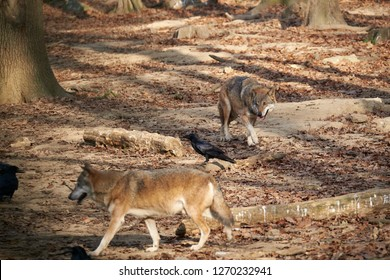 Brown wild wolves and a black crow in the woods looking for food