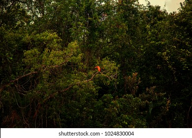 Brown Winged Kingfisher, The Sundarban, Bangladesh, September 10, 2016. A view of Brown Winged Kingfisher, Wild birds in the Sundarbans, one of the largest mangrove forests in the world.