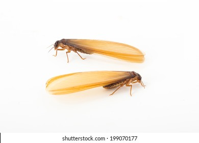 brown winged termite (alate) isolated on white background.