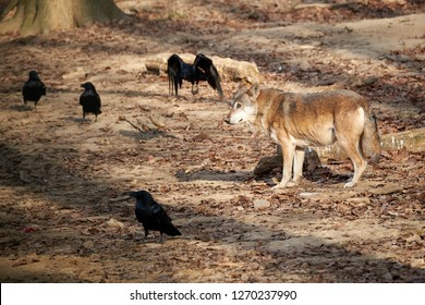 Brown wolf and black crows in the wild woods looking for food