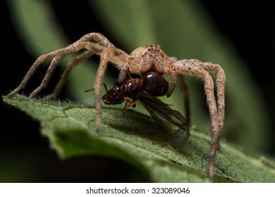 Brown wolf spider eats red ant on green leaf