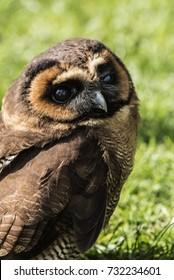 Brown Wood Owl [tawny]