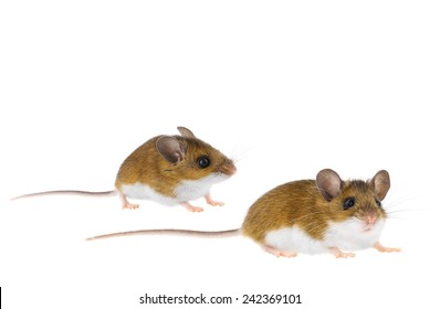 Brown Woodlands Deer Mice crawling - peromyscus Mouse