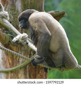 The brown woolly monkey (Lagothrix lagothricha)