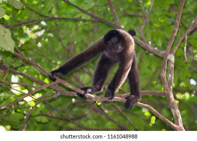 Brown Wooly Monkey in the canopy of Amazon rainforest, Manu National Park, Peru