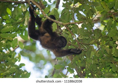Brown Wooly Monkey (Lagothrix lagotricha) in the canopy of the Amazon rainforest, Manu National Park, Peru