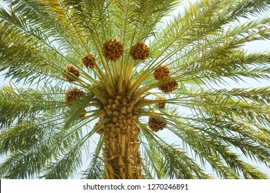 Brown & yellow date between the palm tree leafs
