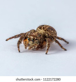 Brown Yellow Salticidae Jumping Spider on Clear white background isolated subject in Thailand