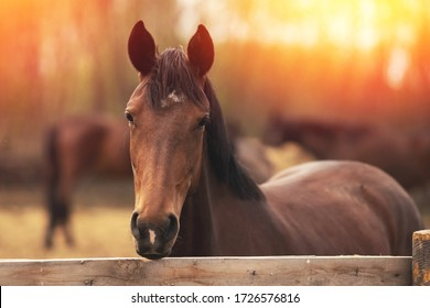 Brown young horse stallions in corral farm, autumn photo.