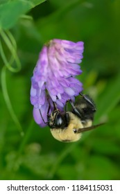 Brown-belted Bumble Bee  collecting nectar from a Tufted Vetch flower. The Portlands, Toronto, Ontario, Canada.