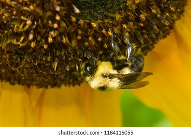 A Brown-belted Bumble Bee is collecting nectar from a large Sunflowerhead. Rosetta McClain Gardens, Toronto, Ontario, Canada.