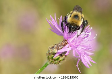 Brown-belted Bumble Bee  collecting nectar from a Spotted Knapweed flower. The Portlands, Toronto, Ontario, Canada.