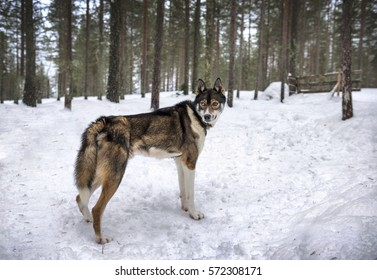 Brown-black Husky dog walking in winter forest.
