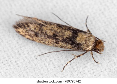 The brown-dotted clothes moth Niditinea fuscella is a species of tineoid moth. It belongs to the fungus moth family Tineidae