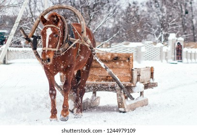 Browne horse pulling wooden sleigh in winter. Snowly day