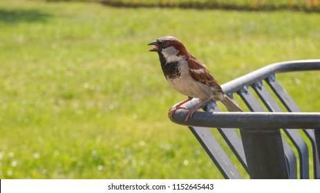 The brown-gray Sparrow sits on the bar with his tongue sticking out. Green grass, Sunny summer day.