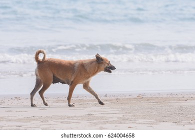 Brown-haired dog running on the beach at sea.