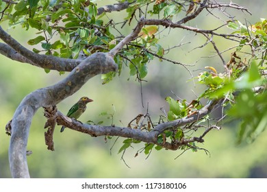 Brown-headed Barbet - Psilopogon zeylanicus, beautiful colored barbet from woodlands of Indian subcontinent, Sri Lanka.
