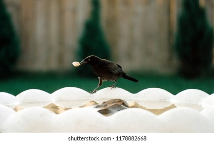 Brown-headed cowbird posed on edge of birdbath holding a piece of food with a green and beige background.