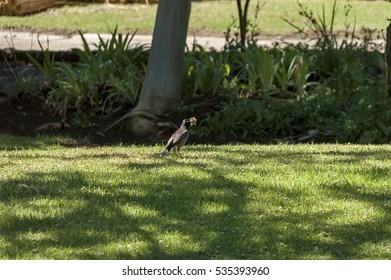 Brown-headed Cowbird in Royal Natal National Park Drakensberg, South Africa