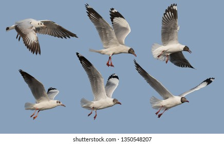 Brown-headed Gull in Non-breeding plumage and Moulting into breeding plumage and Breeding plumage on the sky At Bang Pu, Samut Prakan, Thailand