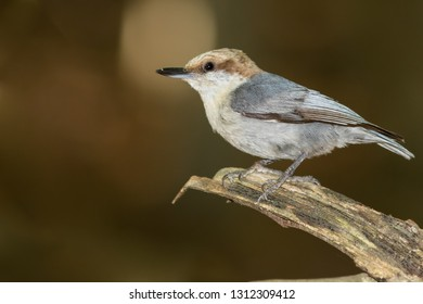 A Brown-headed Nuthatch perching on a branch