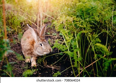 Brownish gray rabbit hare giant on backdrop of garden. light. Concept farm for breeding animals