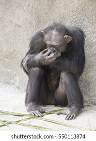 Brownish-black female chimpanzee resting on gray stone and concrete with a hand to her face.