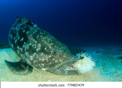 Brownmarbled Grouper eating a porcupinefish (puffer fish)