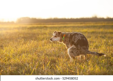 Brown-mixed dog pooping at huge field during lovely sunset (color toned image)