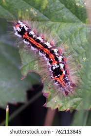 Brown-tail moth caterpillar, (Euproctis chrysorrhoea), on a bramble leaf, Isles of Scilly, England, UK.